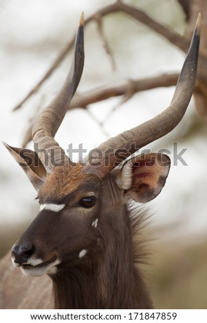 Male Nyala in Kruger National park, South Africa