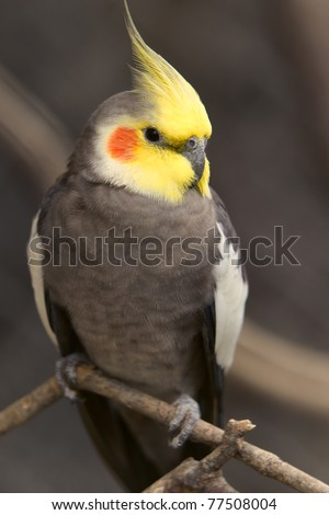 male nymphicus hollandicus bird, shoot in Ecuadorian rainforest - stock photo