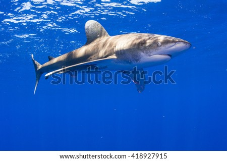 Male Oceanic Whitetip Shark off Cat Island in the Bahamas - stock photo