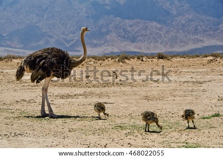 Male of African ostrich (Struthio camelus) with baby chicks in nature reserve near Eilat, Israel
