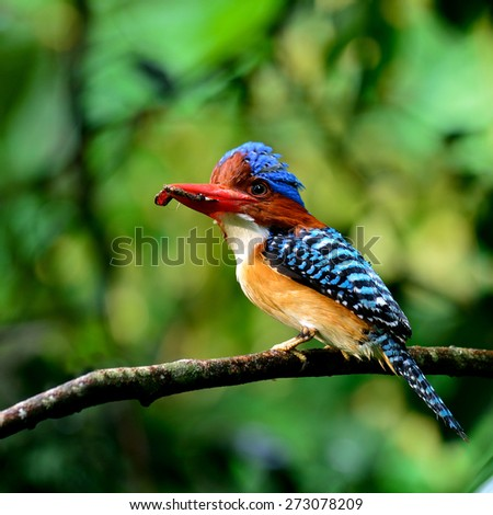 Male of Banded Kingfisher, the beautiful crested blue bird carrying food in his lips to feed its chicks