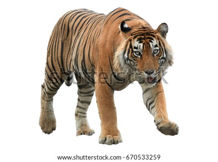 Male of Bengal tiger, Panthera tigris, isolated on white background. Tiger from front view, staring directly at camera. Indian wildlife, Ranthambore, India.