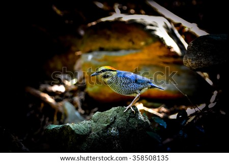 Male of Blue Pitta (Hydrornis cyaneus) standing on  the rock showing its side feathers profile, the beautiful blue bird - stock photo