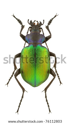 Male of Calosoma sycophanta isolated on a white background.
