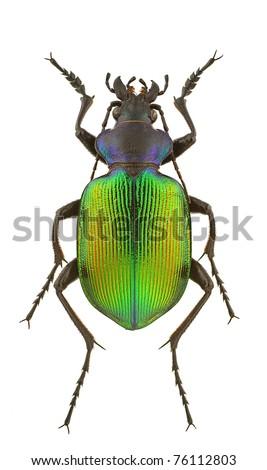 Male of Calosoma sycophanta isolated on a white background. - stock photo