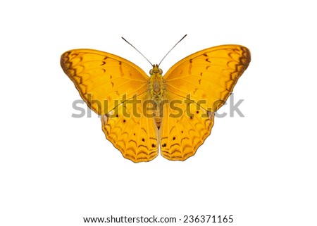 Male of common yeoman butterfly isolated with clipping path - stock photo