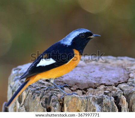 Male of Daurian Redstart (Phoenicurus auroreus) the beautiful bird with black wings and face  top of silver head and orange belly, standing on the log - stock photo