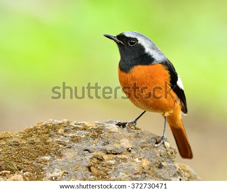 Male of Daurian Redstart (Phoenicurus auroreus) the beautiful orange belly with black face and wing and silver head perching on the rock on the green blur background - stock photo
