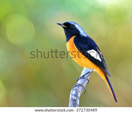 Male of Daurian Redstart (Phoenicurus auroreus) the beautiful orange belly with black face and wing and silver head perching on the branch on the colorful blur background and bohek - stock photo