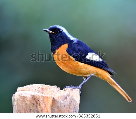 Male of Daurian Redstart (Phoenicurus auroreus) the beuatiful bird, the black wings and face  top of silver head and orange belly, standing on the log with nice blur green background - stock photo