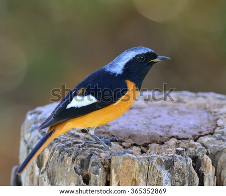 Male of Daurian Redstart (Phoenicurus auroreus) the beuatiful bird with black face and wings silver head and orange belly standing on the log with details from head to toe - stock photo