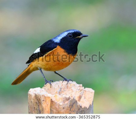 Male of Daurian Redstart (Phoenicurus auroreus) the beuatiful bird with black face and wings silver head and orange belly standing on top of the log on nice blur green background - stock photo