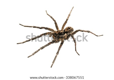 Male of Geolycosa vultuosa wolf spider isolated on white.