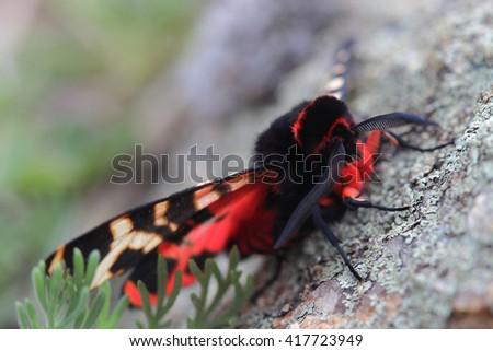 Male of Hebe Tiger Moth (Arctia festiva). Closeup - stock photo