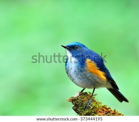 Male of Himalayan Bluetail (tarsiger rufilatus) the beautiful blue bird fully standing on the mossy branch looking up sky with green blur background - stock photo