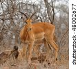 male of impala gazelle in Kruger national park, South Africa - stock photo