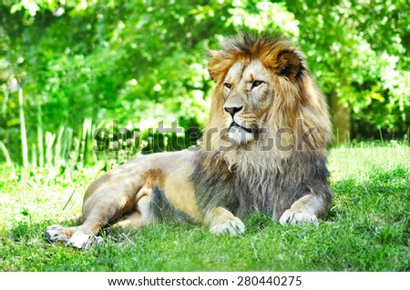 Male of lion lying in nature - stock photo