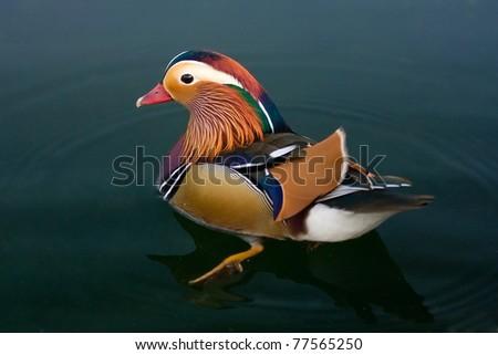 Male of Mandarin Duck swimming - stock photo