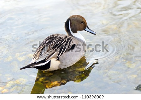 Male of northern pintail (Anas acuta) in its habitat - stock photo