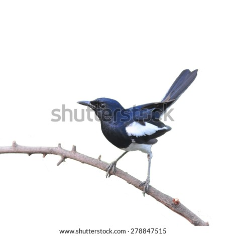 Male of Oriental Magpie Robin, the beautiful black and white bird perching the branch on white background
