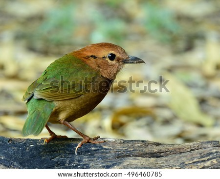 Male of Rusty-naped Pitta (Hydrornis oatesi) the chubby pale green and brown bird standing on the log, exotic nature