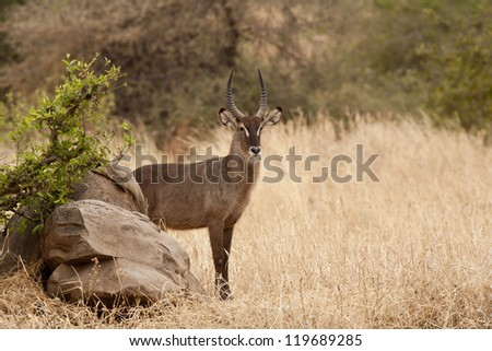 Male of Waterbuck Standing on the grass