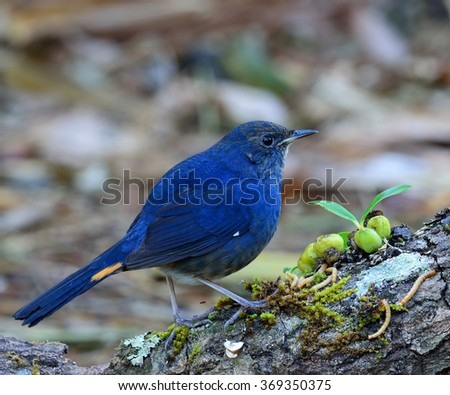 Male of White-bellied redstart (Hodgsonius phaenicuroides) the beautiful blue bird standing on the log with some meal worms and growing wild orchids plants - stock photo