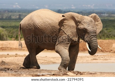 Male or bull African elephant at a water hole - stock photo