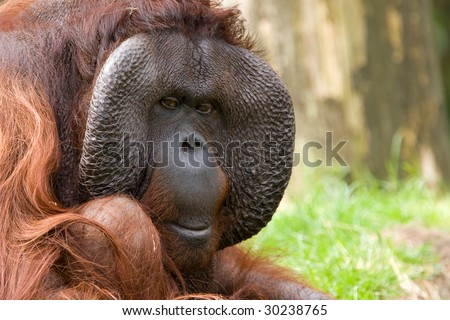 male orang utan - stock photo