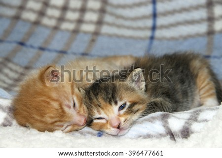 Male orange tabby kitten sleeping next to his sister female tortie torbie tabby on sheepskin and fluffy stripped gray and blue blanket. three weeks old - stock photo