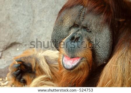 Male Orangutan - stock photo