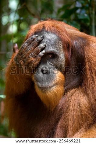 Male orangutan. Indonesia. The island of Sumatra. Funny pose. - stock photo