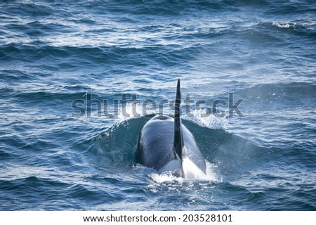 Male orca whales sailing along the coast of the Antarctic Islands - stock photo