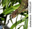 Male Panther chameleon - stock photo