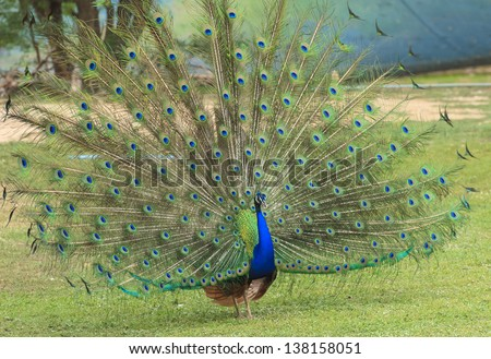 male peacock displaying his tail feathers