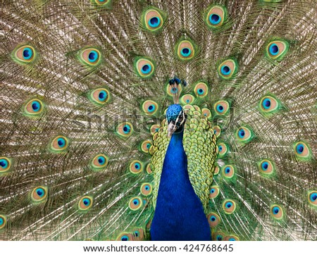 Male peacock displaying tail feathers - stock photo