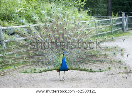 Male peacock spreading out its feathers