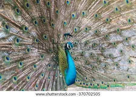 Male Peacock spreading tail-feathers , Indian Peafowl , selective focus