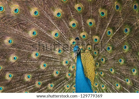 Male peacock with blue body surrounded by brown and green iridescent plumage