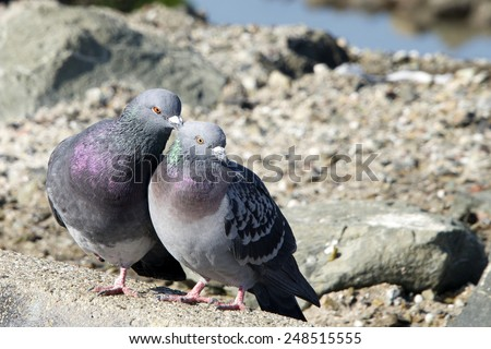 pigeon gay singles Gay-neck, the story of a pigeon is a 1928 children's novel by dhan gopal mukerji that won the newbery medal for excellence in american children's literature in 1928.