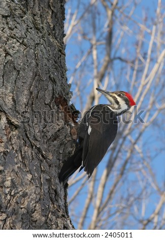 Male Pileated Woodpecker near hole - stock photo
