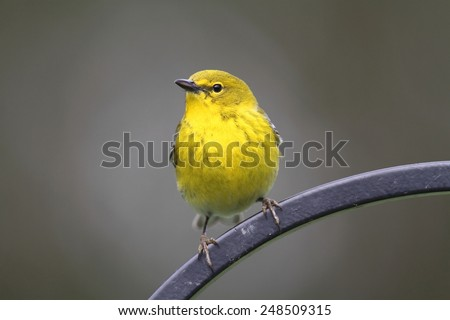 Male Pine Warbler (Dendroica Setophaga pinus) on a perch in early spring - stock photo