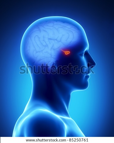 Male pituitary anatomy of human organs in x-ray view - stock photo