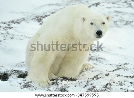 Male polar bear (Ursus maritimus) on the snow. Arctic,polar,tundra  - stock photo
