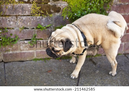 Male pug dog is pissing on the wall of red bricks - stock photo