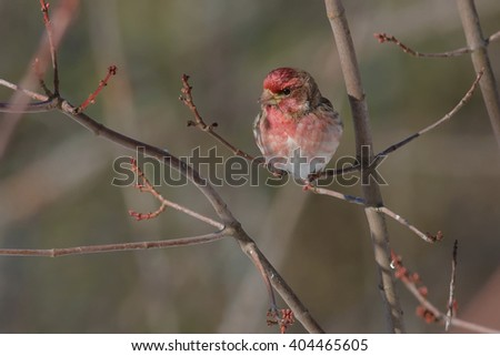 Male Purple Finch perched on a branch. - stock photo