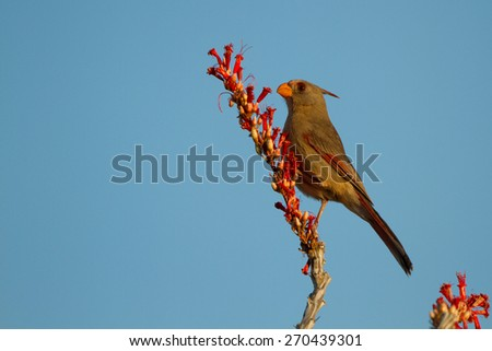 Male Pyyrrhuloxia sits in the flowers of an Ocotillo at dawn - stock photo