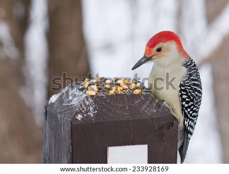 Male red-bellied woodpecker eating bird seed on a wooden post. - stock photo