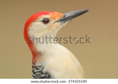 Male Red-bellied Woodpecker (Melanerpes carolinus) close-up with a tan background - stock photo
