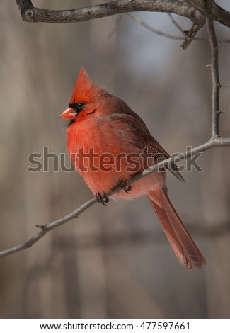 Male Red Cardinal bird sitting on the tree branch